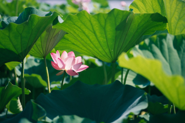 Medicinal Wonders of Lotus Flower